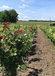 Vignes avec roses et allée