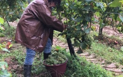 Harvest 2019 – Sémillon