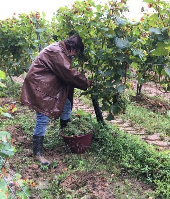 Vendanges 2019 – Le Sémillon