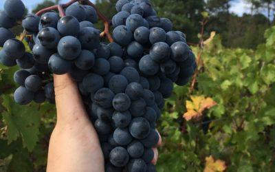 Harvest 2019 – Merlot & Cabernet Franc